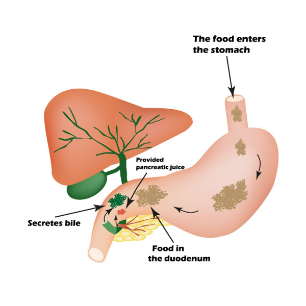 diet and herbs for healthy bile production - learn ayurveda, Cephalic Vein