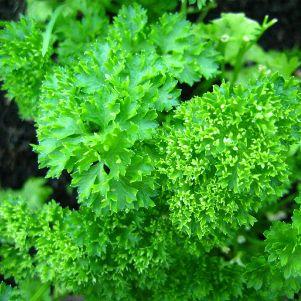 Parsley (Fresh) Ayurveda Medicinal Properties