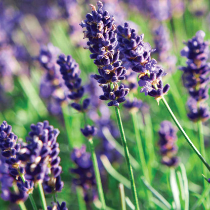 Ayurveda Lifestyle Lavender Essential Oil - 1/3 oz