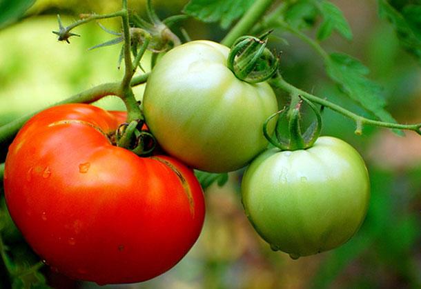 Tomatoes Ayurvedic Perspectives