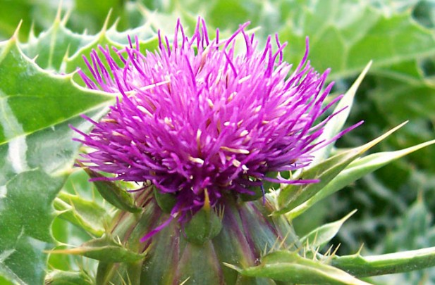 Ayurveda Lifestyle Milk Thistle Tincture