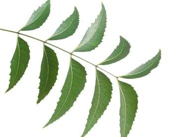 Ayurveda Lifestyle Neem Leaf