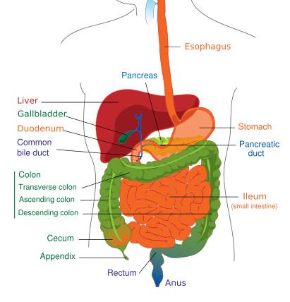 Ayurveda Digestion